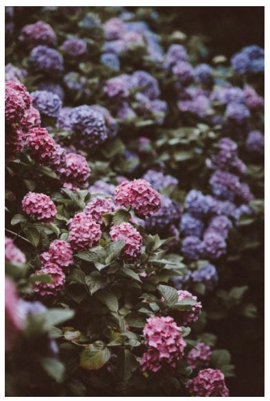 I would love to have a gorgeous row of hydrangeas like these! -Photo by Annie Spratt, amid home, flower power, gardenista, green thumb, landscape design, garden, gardener, purple petals,