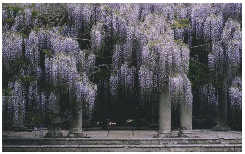 This is the most magnificent wisteria garden I have ever seen! The smell must be heavenly. Photo - Annie Spratt, amid home, purple, ruins, garden design, landscape, pursue pretty, columns, hardscape